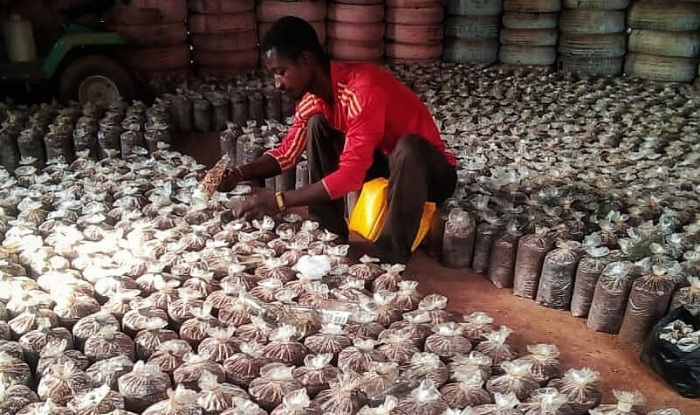 Ending Hunger Through Agriculture with the Ebankese Mushroom Farm